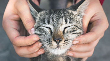 Cats face being rubbed by two hands
