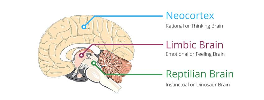 three brains diagram